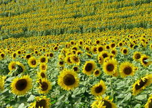 [Sunflowers]